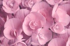 Ρόδινη ανθίζοντας begonia κινηματογράφηση σε πρώτο πλάνο λουλουδιών Στοκ Εικόνες