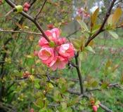 Ρόδινη δέσμη ανθίσεων της Apple στον κήπο Στοκ φωτογραφία με δικαίωμα ελεύθερης χρήσης