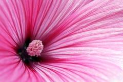 Ρόδινη ετήσια Mallow κινηματογράφηση σε πρώτο πλάνο λουλουδιών Στοκ Φωτογραφίες