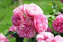 Ρόδινη θερινή ανθοδέσμη τριαντάφυλλων Στοκ Εικόνες