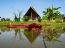 Ρόδινη λιβελλούλη που στηρίζεται στη βλάστηση μπροστά από τις ταϊλανδικές καλύβες στη βόρεια Ταϊλάνδη Στοκ Φωτογραφίες