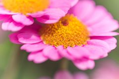 Ρόδινη μακροεντολή της θερινής Daisy Στοκ εικόνες με δικαίωμα ελεύθερης χρήσης