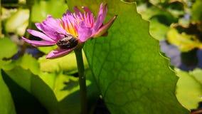 Ρόδινη ομορφιά ιατρικής φύσης κήπων νερού λουλουδιών Lotus απόθεμα βίντεο