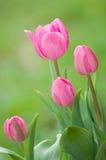ρόδινη τουλίπα λουλου&delt Στοκ Φωτογραφία