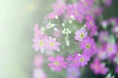 Ρόδινη φωτεινή μαλακή εστίαση ύφους θαμπάδων άνθισης λουλουδιών για το γλυκό αγάπης ταπετσαριών ή υποβάθρου Στοκ Εικόνα