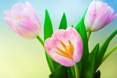 Ρόδινη όμορφη τουλίπα λουλουδιών τρία στην ποιότητα στούντιο Στοκ Φωτογραφίες