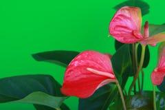 Ρόδινη Anthurium ποιότητα στούντιο λουλουδιών άνθισης Στοκ Φωτογραφία