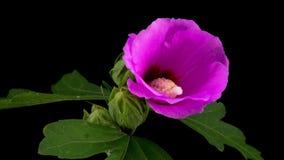 Ρόδινη hibiscus άνθιση λουλουδιών απόθεμα βίντεο