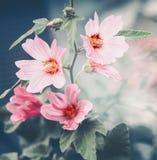 Ρόδινη mallow υπαίθρια θερινή φύση λουλουδιών στοκ φωτογραφία με δικαίωμα ελεύθερης χρήσης