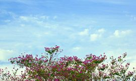 Ρόδινοι θάμνοι λουλουδιών, πράσινα φύλλα, φωτεινό υπόβαθρο ουρανού το καλοκαίρι στοκ εικόνες με δικαίωμα ελεύθερης χρήσης