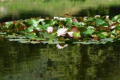 Ρόδινοι κρίνοι νερού Στοκ φωτογραφίες με δικαίωμα ελεύθερης χρήσης