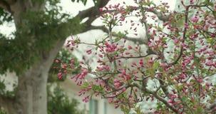 Ρόδινοι οφθαλμοί Sakura που βλαστάνουν κατά τη διάρκεια της εποχής ανθών κερασιών στην Ιαπωνία απόθεμα βίντεο