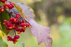Ρόδινοι σπόροι euonymus Στοκ φωτογραφία με δικαίωμα ελεύθερης χρήσης