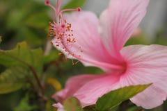 Ρόδινοι στενοί επάνω πυροβολισμός και γύρη λουλουδιών στοκ φωτογραφίες