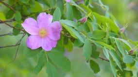 Ρόδινος άγριος αυξήθηκε λουλούδι απόθεμα βίντεο