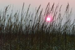 Ρόδινος ήλιος ηλιοβασιλέματος σε έναν misty γκρίζο ουρανό μεταξύ των μίσχων της ξηράς καφετιάς χλόης στοκ εικόνα