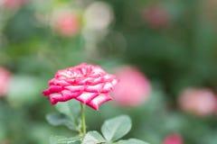 Ρόδινος αυξήθηκε άνθος λουλουδιών σε έναν κήπο Στοκ φωτογραφία με δικαίωμα ελεύθερης χρήσης