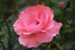 Ρόδινος αυξήθηκε! Είναι ένα φωτεινό λουλούδι, odorous λουλούδι, ένα θαυμάσιο λουλούδι, μαγικό λουλούδι Στοκ φωτογραφία με δικαίωμα ελεύθερης χρήσης