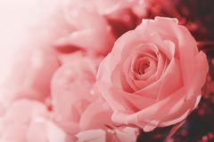 Ρόδινος αυξήθηκε λουλούδια στο μαλακό χρώμα στοκ φωτογραφίες με δικαίωμα ελεύθερης χρήσης