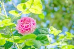 Ρόδινος αυξήθηκε λουλούδι σε ένα υπόβαθρο των πράσινων φύλλων και του μπλε ουρανού Στοκ φωτογραφίες με δικαίωμα ελεύθερης χρήσης