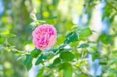 Ρόδινος αυξήθηκε λουλούδι σε ένα υπόβαθρο των πράσινων φύλλων και του μπλε ουρανού Στοκ Φωτογραφία