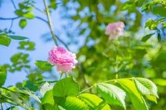 Ρόδινος αυξήθηκε λουλούδι σε ένα υπόβαθρο των πράσινων φύλλων και του μπλε ουρανού Στοκ εικόνα με δικαίωμα ελεύθερης χρήσης