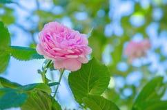 Ρόδινος αυξήθηκε λουλούδι σε ένα υπόβαθρο των πράσινων φύλλων και του μπλε ουρανού Στοκ φωτογραφία με δικαίωμα ελεύθερης χρήσης