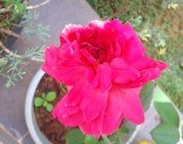 Ρόδινος αυξήθηκε λουλούδι στην πλήρη άνθιση Στοκ εικόνες με δικαίωμα ελεύθερης χρήσης