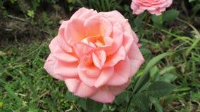 Ρόδινος αυξήθηκε λουλούδι στοκ φωτογραφίες με δικαίωμα ελεύθερης χρήσης