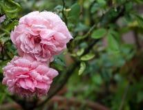 Ρόδινος αυξήθηκε μετά από να βρέξει στον κήπο στοκ εικόνες με δικαίωμα ελεύθερης χρήσης