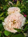 Ρόδινος αυξήθηκε στον κήπο λουλουδιών Στοκ φωτογραφίες με δικαίωμα ελεύθερης χρήσης