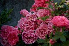 Ρόδινος αυξήθηκε στον κήπο μας στοκ εικόνες με δικαίωμα ελεύθερης χρήσης