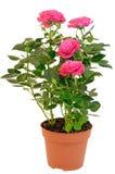 Ρόδινος αυξήθηκε στο δοχείο λουλουδιών Στοκ Εικόνα