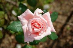 Ρόδινος αυξήθηκε στο ηλιόλουστο στενό επάνω floral υπόβαθρο ημέρας στοκ φωτογραφίες με δικαίωμα ελεύθερης χρήσης