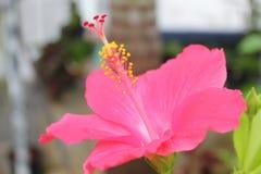 Ρόδινος θολωμένος λουλούδι κήπος παπουτσιών ως υπόβαθρο Στοκ εικόνες με δικαίωμα ελεύθερης χρήσης