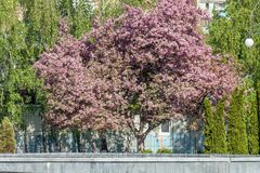 Ρόδινος κλάδος δέντρων της Apple ανθών, κατά τη διάρκεια της εποχής άνοιξης στην πόλη Στοκ Φωτογραφίες