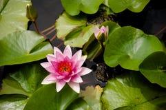 Ρόδινος κρίνος νερού, ρόδινο Lotus με τα πράσινα φύλλα Στοκ εικόνα με δικαίωμα ελεύθερης χρήσης