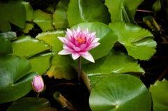 Ρόδινος κρίνος νερού, ρόδινο Lotus με τα πράσινα φύλλα Στοκ Εικόνα