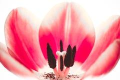 Ρόδινος κόκκινος ακραίος μακρο στενός επάνω λουλουδιών τουλιπών Το εσωτερικό λουλούδι τουλιπών λεπτομερειών με το pistil, ίνα, στ στοκ εικόνες