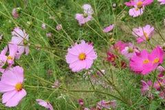 Ρόδινος κόσμος, όμορφο ρόδινο λουλούδι στοκ φωτογραφίες