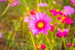 Ρόδινος κόσμος Bipinnatus λουλουδιών κόσμου με τις θολωμένες ελαφριές ακτίνες β Στοκ Φωτογραφία