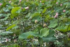 Ρόδινος λωτός σε μια λίμνη με την πτώση δροσιάς στα πράσινα φύλλα στοκ φωτογραφίες με δικαίωμα ελεύθερης χρήσης