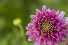 Ρόδινος μακρο βλασταημένος στενός επάνω λουλουδιών στοκ εικόνες
