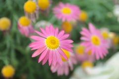 ρόδινος μικρός λουλουδιών Στοκ Φωτογραφίες