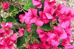 Ρόδινος μπλε ουρανός λουλουδιών bougainvillea Στοκ Εικόνες