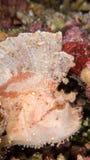 Ρόδινος σκορπιός φύλλων Στοκ Φωτογραφία