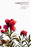 ρόδινος τροπικός λουλο Στοκ Εικόνα