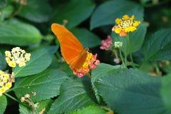 ρόδινος φανός της Julia λουλ&omi στοκ φωτογραφία με δικαίωμα ελεύθερης χρήσης