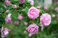 Ρόδινος όμορφος αυξήθηκε αυξανόμενος στον κήπο, φυσικό υπόβαθρο Στοκ φωτογραφίες με δικαίωμα ελεύθερης χρήσης