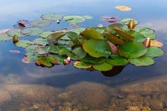 Ρόδινος όμορφος waterlily στην πράσινη λίμνη Εικόνα φύσης στο τοπίο Στοκ εικόνα με δικαίωμα ελεύθερης χρήσης